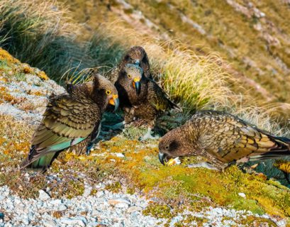 Kea parrots in New Zealand