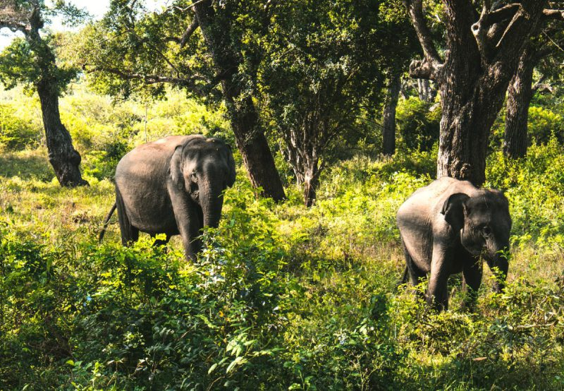 Best Sri Lanka national parks — Sri Lankan elephants